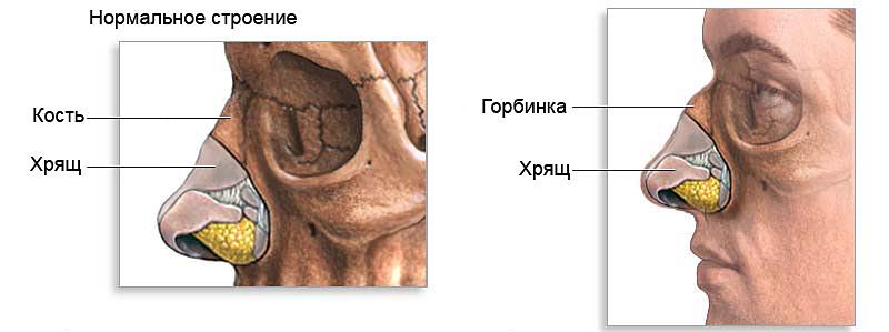 строение носа