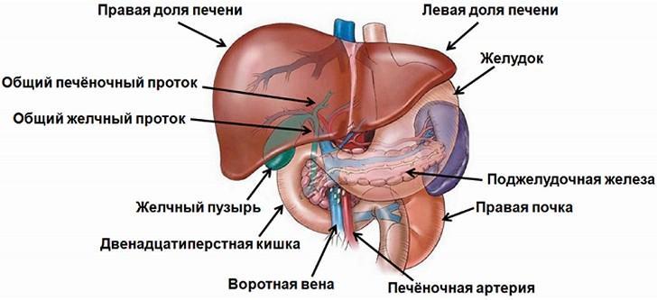 Расположение желчного пузыря