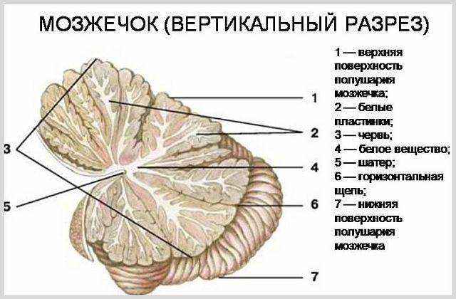 За что отвечает мозжечок и где находится