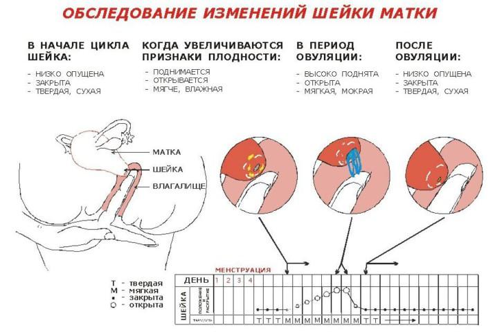 Какой должна быть шейка матки накануне месячных и при беременности на ощупь, где она бывает расположена и как выглядит?