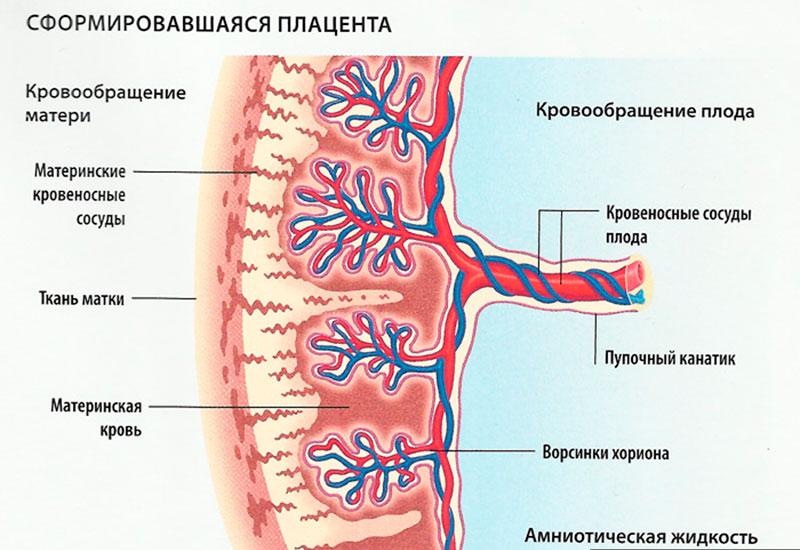 Сколько сосудов 2 или 3 имеет пуповина, каково количество артерий при беременности, что значит ЕАП?
