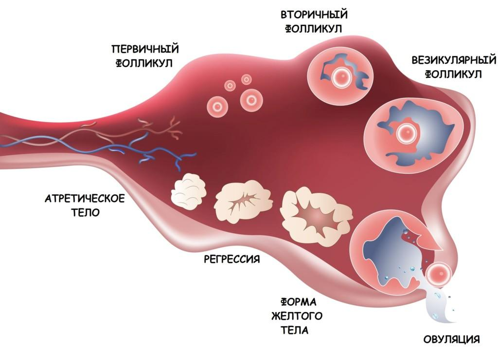 Что такое доминантный фолликул, как он образуется в правом или левом яичнике?